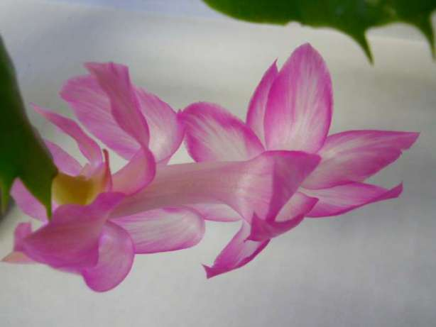 Schlumbergera  Windsor