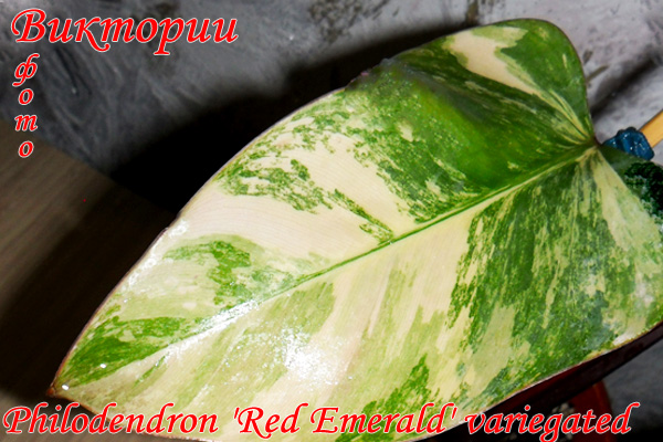 Philodendron 'Red Emerald' variegated