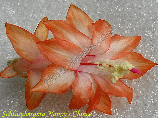 Schlumbergera  Nancy's Choice