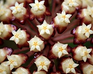 Hoya - Clemensiorum Long Leaves