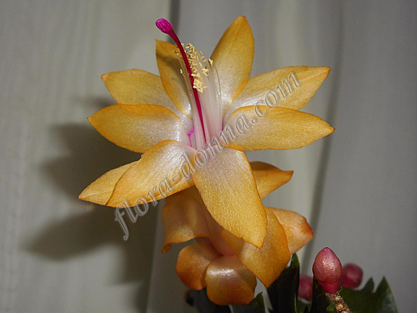 Schlumbergera  Dark Yellow №57