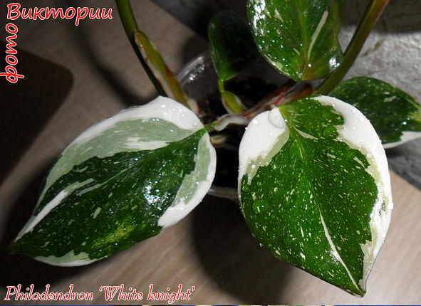 Philodendron 'White Knight'