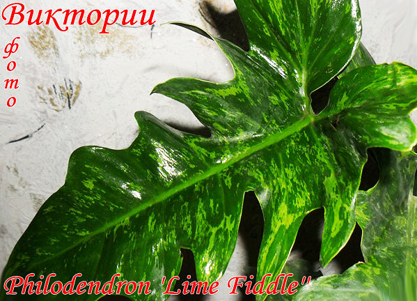 Philodendron 'Lime Fiddle'