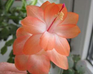 Schlumbergera  Light Peach №22