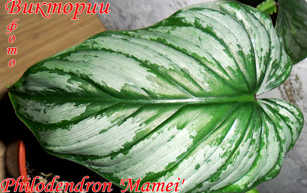 Philodendron 'Mamei'