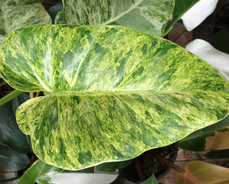 Philodendron 'Giganteum' yellow variegated
