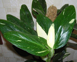 Philodendron Guttiferum 'Cobra'
