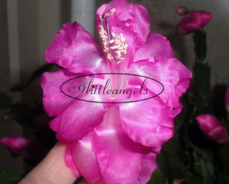 Schlumbergera  Purple Dancer Sport