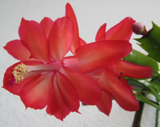 Schlumbergera  Red Flame