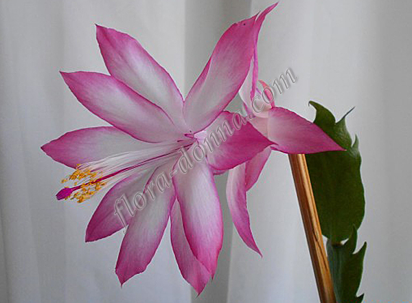 Schlumbergera  Ruth Day