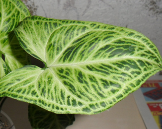 Syngonium Golden Venation