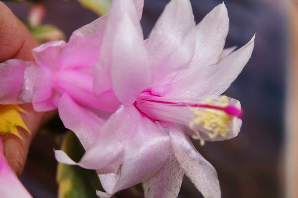 Schlumbergera  Variegated with white flowers