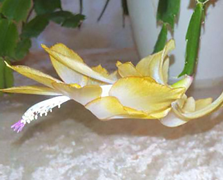 Schlumbergera №54Yellow Edging